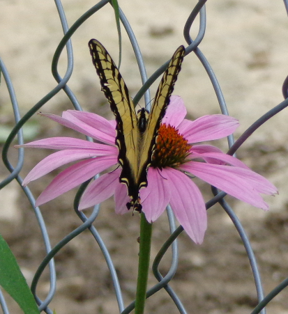 Purple coneflower with yellow butterfly